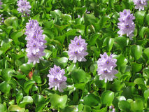 Lilac flowers, green brilliant leaves. Yellow, Sunny weather. Water hyacinth, Eichhornia crassipes Royalty Free Stock Photos