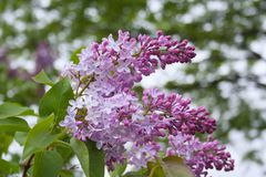 Lilac flowers in the green garden background after the rain. royalty free stock image