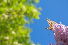 Lilac flowers in the green garden background in a sunny day with one orange butterfly Aglais urticae. With copy space. Purple lilac Syringa vulgaris royalty free stock photo