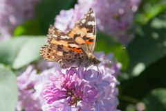 Lilac flowers in the green garden background in a sunny day with one orange butterfly Aglais urticae. Purple lilac Syringa vulgaris royalty free stock image