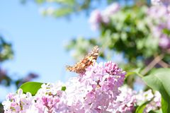 Lilac flowers in the green garden background in a sunny day with one orange butterfly Aglais urticae. Purple lilac Syringa vulgaris stock image