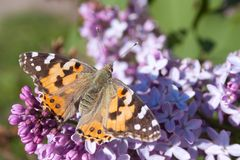 Lilac flowers in the green garden background in a sunny day with one orange butterfly Aglais urticae. Purple lilac Syringa vulgaris stock photos
