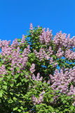 Lilac flowers with green leaves Royalty Free Stock Photography