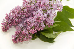 Lilac flowers. Green twigs, photograph taken at close range, the image close Royalty Free Stock Images