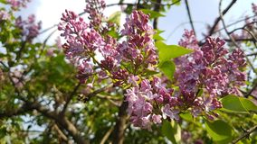 Lilac flowers. Lilac flowers grow on a tree in the spring Stock Photos