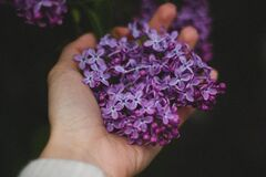 Lilac flowers in hand Stock Photography
