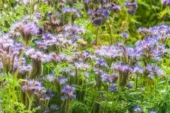 Purple tansy Phacelia tanacetifolia. Lilac flowers of honey plants lacy phacelia or purple tansy Phacelia tanacetifolia Royalty Free Stock Photos