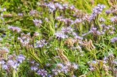 Purple tansy Phacelia tanacetifolia. Lilac flowers of honey plants lacy phacelia or purple tansy Phacelia tanacetifolia Royalty Free Stock Images