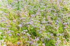 Purple tansy Phacelia tanacetifolia. Lilac flowers of honey plants lacy phacelia or purple tansy Phacelia tanacetifolia Stock Photos