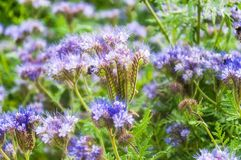 Purple tansy Phacelia tanacetifolia. Lilac flowers of honey plants lacy phacelia or purple tansy Phacelia tanacetifolia Stock Image