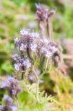 Purple tansy Phacelia tanacetifolia. Lilac flowers of honey plants lacy phacelia or purple tansy Phacelia tanacetifolia Stock Photo