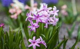 Lilac flowers of Hyacinth Royalty Free Stock Photos