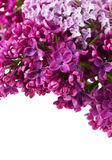 Lilac flowers isolated nd empty space for your text Stock Image