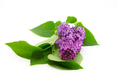 Lilac. Flowers are isolated on a white background Royalty Free Stock Photography