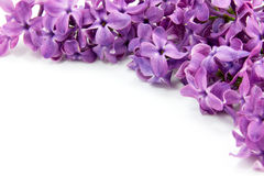 Lilac. Flowers are isolated on a white background Stock Photography