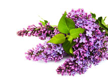 Lilac flowers. Isolated on a white background Stock Images