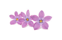 Lilac flowers isolated Royalty Free Stock Image