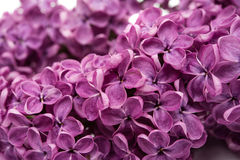 Lilac flowers isolated Stock Images