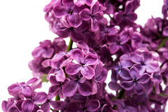Lilac flowers isolated Royalty Free Stock Photography