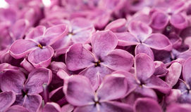 Lilac flowers isolated Royalty Free Stock Images