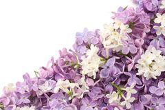 Lilac flowers isolated on white background. top view stock photo