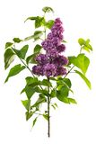 Lilac flowers isolated on white stock photo