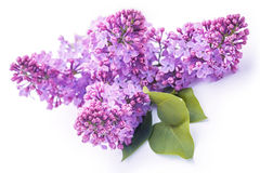 Lilac flowers isolated on the white Stock Photo
