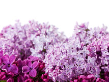 Lilac flowers isolated on white Royalty Free Stock Image