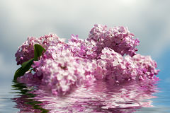 Lilac flowers. Stock Photos