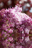 Lilac flowers. Stock Photography