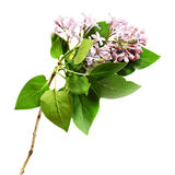 Lilac flowers and leaves twig Stock Photo