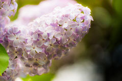Lilac flowers of light purple color. Macro Stock Photo