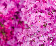 Lilac flowers with lilac branch bokeh Stock Image