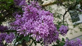 Lilac flowers. Lilac flowers on the branches of a tree in spring Stock Photography