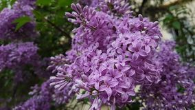 Lilac flowers. Lilac flowers on the branches of a tree in spring Royalty Free Stock Images