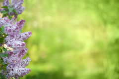 Lilac flowers in line on green background Royalty Free Stock Photo