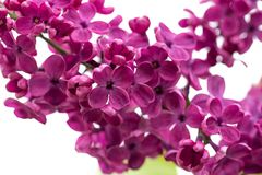 The Lilac flowers macro background. Close-up.  royalty free stock photography