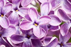 Lilac flowers macro Royalty Free Stock Photos
