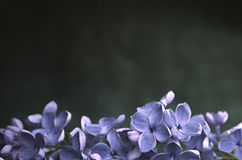 Lilac flowers macro composition frame Royalty Free Stock Photography