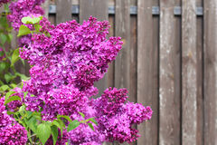 Lilac flowers  against of wooden fence Stock Image