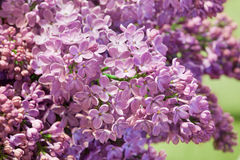 Lilac flowers macro image Royalty Free Stock Photography