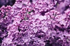 Lilac flowers macro Royalty Free Stock Photos