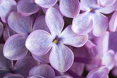 Lilac flowers. Macro photo. Royalty Free Stock Photo