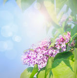 Lilac flowers over blue sky background with sunlight and bokeh Royalty Free Stock Image