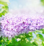 Lilac flowers over sun leaves blurred background Stock Photography