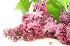 Lilac flowers over white Royalty Free Stock Photography
