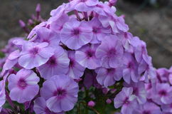 Lilac flowers of phlox. With purple eye Stock Photos