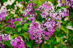 The lilac flowers Royalty Free Stock Images