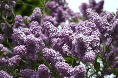 Lilac flowers. Purple lilac flowers growing in the wild Scandinavian forest stock image