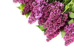 Lilac flowers. Purple lilac flowers isolated on white Stock Image